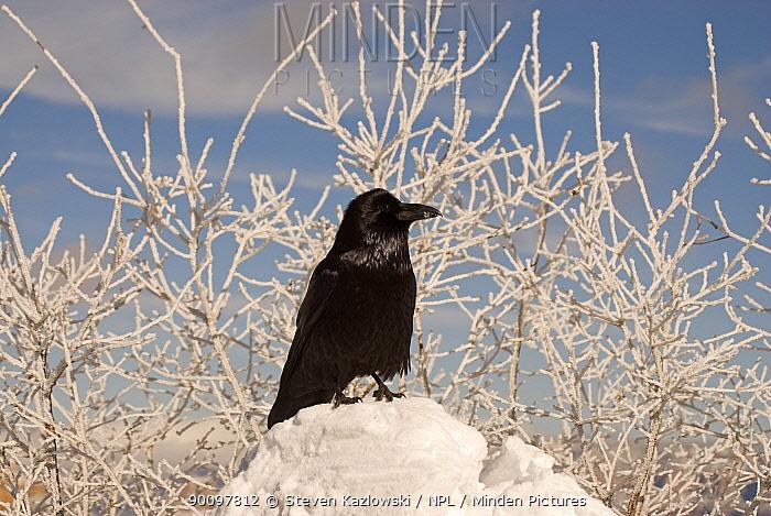 Common raven (Corvus corax) on south rim of Grand Canyon National Park in winter, Arizona, USA February  -  Steven Kazlowski/ npl