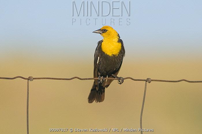 Yellow-headed blackbird (Xanthocephalus xanthocephalus) on a wire fence, National Bison Range Wildlife Refuge, Montana, USA  -  Steven Kazlowski/ npl
