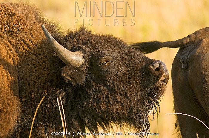 American bison (Bison bison) adult in early summer, National Bison Range Wildlife Refuge, Montana, USA  -  Steven Kazlowski/ npl
