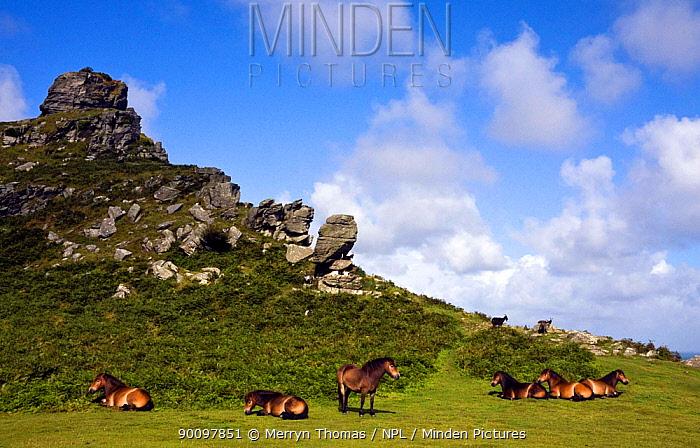 Exmoor ponies (Equus caballus) and goats grazing in the Valley of the Rocks, Exmoor, North Devon, UK July 2009  -  Merryn Thomas/ npl