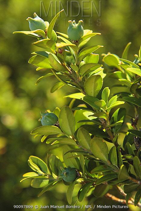 Box tree (Buxus sempervirens) leaves and fruit, Spain  -  Juan Manuel Borrero/ npl