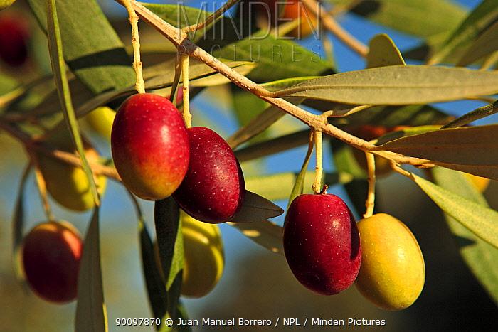 Olive tree (Olea europaea) fruits, Spain  -  Juan Manuel Borrero/ npl