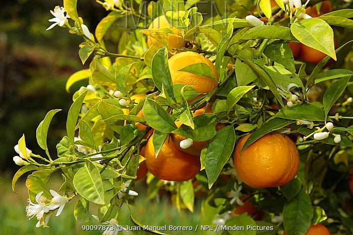 Orange tree (Citrus aurantium sinensis) fruit and flowers, Spain  -  Juan Manuel Borrero/ npl