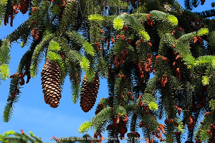 Norway spruce tree (Picea abies) cones, Spain  -  Juan Manuel Borrero/ npl