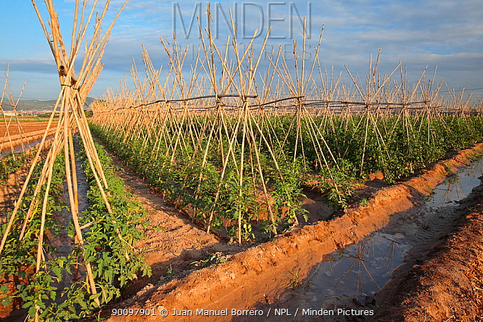 Tomatoes (Solanum lycopersicum) growing on farm, Barcelona, Catalonia, Spain  -  Juan Manuel Borrero/ npl