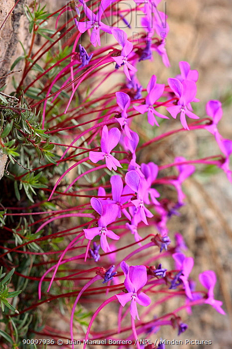Violet (Viola cazorlensis), endemic species Sierra de Cazorla Natural Park, Jaen, Andalusia, Spain  -  Juan Manuel Borrero/ npl