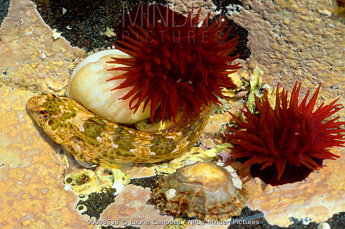Shanny (Blennius pholis), Beadlet anemones (Actinia equina), Periwinkle and Limpet in rock pool on upper shore, Loch Sunart, Argyl, Scotland, July  -  Laurie Campbell/ npl