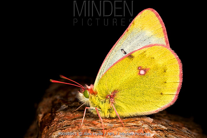 Mountain Clouded Yellow butterfly (Colias phicomone) on branch, Austrian Alps, June  -  Alex Hyde/ npl