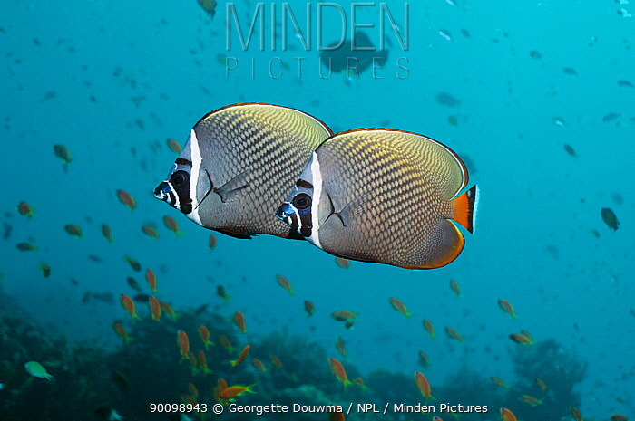Two Redtail butterflyfish (Chaetodon collare) Andaman Sea, Thailand  -  Georgette Douwma/ npl