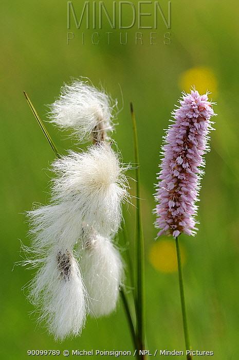 Cotton grass (Eriophorum linaigrette) and Bistort (Polygonum bistorta) flowers, Lorraine, France  -  Michel Poinsignon/ npl