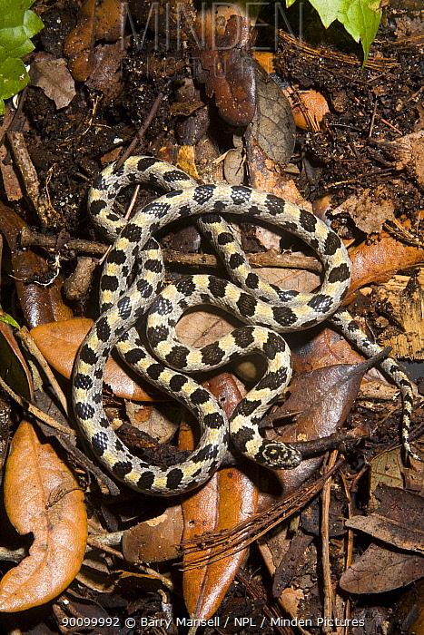 Short-tailed Snake (Stilosoma extenuatum) from Pine Oak Habitat, Ocala National Forest, Central Florida, USA  -  Barry Mansell/ npl