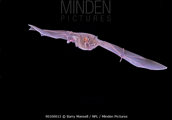 Neotropical Fruit Bat (Aritbeus hartii) in flight at night, wing claws clearly visible, Tamaulipas, Mexico  -  Barry Mansell/ npl
