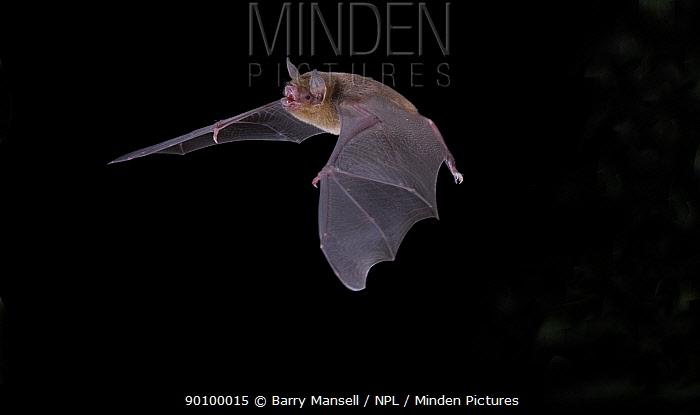 Naked-backed Bat (Pteronotus personatus) in flight at night, Tamaulipas, Mexico  -  Barry Mansell/ npl
