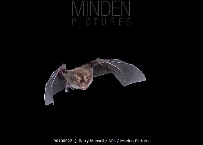 Little-Big-eared Bat (Micronycteris megalotis) in flight at night, Tamaulipas, Mexico  -  Barry Mansell/ npl