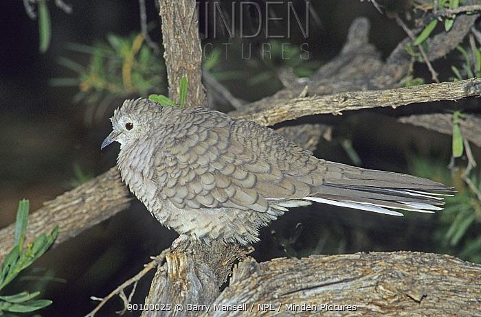 Inca Dove (Columbina inca) with feathers fluffed up, Arizona, USA  -  Barry Mansell/ npl