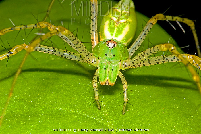 Green Lynx Spider (Peucetia viridans) waiting on leaf to catch prey, Florida, USA  -  Barry Mansell/ npl