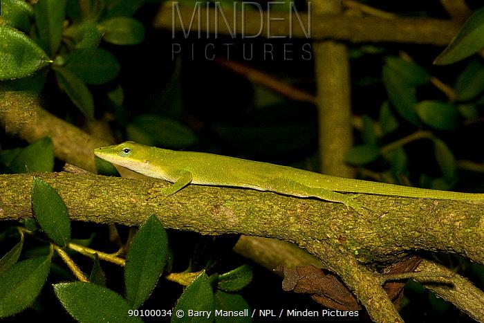 Green Anole (Anolis carolinensis) on branch, North Florida, USA  -  Barry Mansell/ npl
