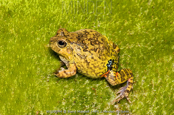 Colombian four eyed frog (Pleurodema brachyops) on moss, captive, from South America  -  Barry Mansell/ npl