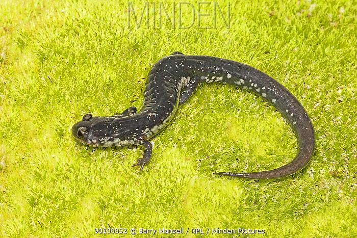 Atlantic coast slimy salamander (Plethodon chlorobryonis) on moss, Florence, North Carolina, USA  -  Barry Mansell/ npl