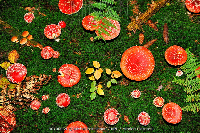 Looking down on a large group of Fly agaric fungi caps (Amanita muscaria) Lorraine, France  -  Michel Poinsignon/ npl