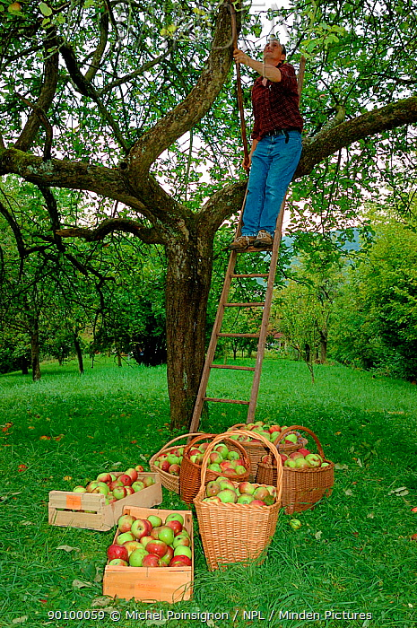 Man picking Rambour Apples (Malus domesticus) from tree, Lorraine, France, 2006  -  Michel Poinsignon/ npl