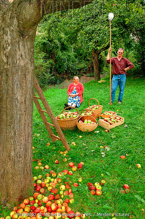 Man and woman with baskets of harvested Rambour Apples (Malus domesticus) in orchard, Lorraine, France, 2006  -  Michel Poinsignon/ npl