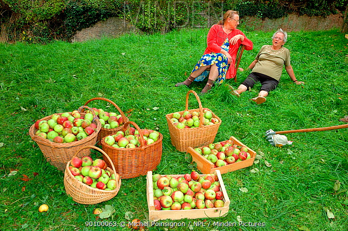 Women with baskets of harvested Rambour Apples (Malus domesticus) in orchard, Lorraine, France, 2006  -  Michel Poinsignon/ npl