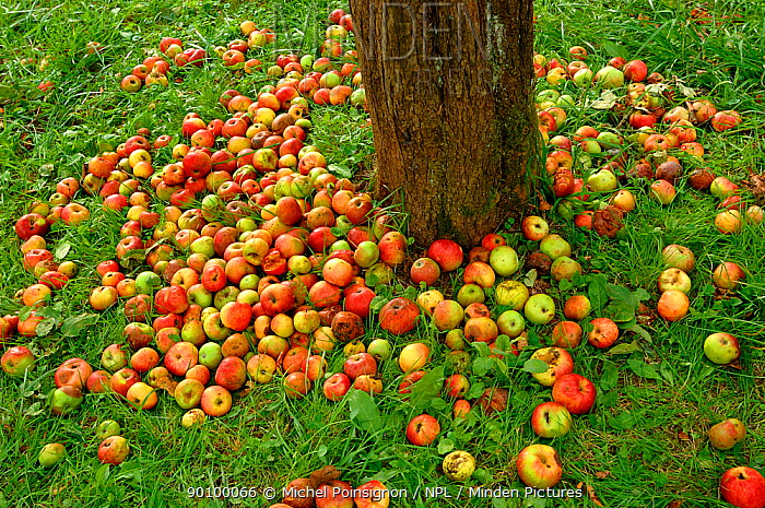Rambour Apples (Malus domesticus) lying at the foot of a tree at harvest time in orchard, Lorraine, France, 2006  -  Michel Poinsignon/ npl