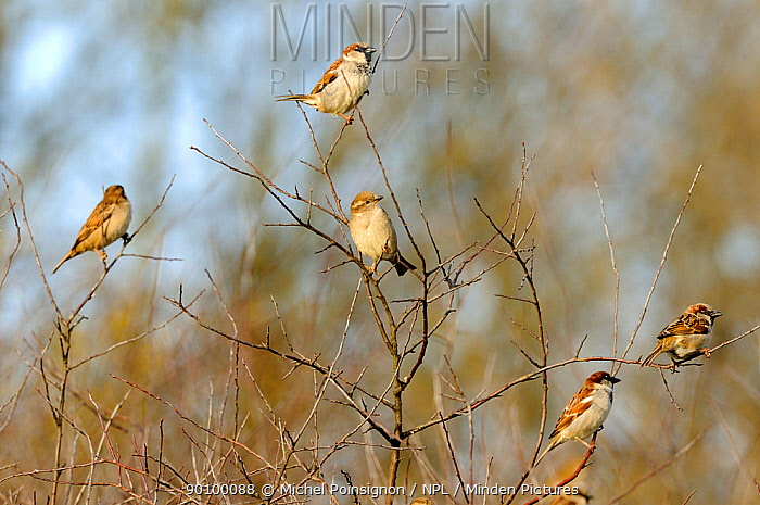 Common, House sparrows (Passer domesticus) perched in tree, Lorraine, France, winter  -  Michel Poinsignon/ npl