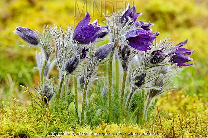 Pasque flowers (Pulsatilla vulgaris) flowering on chalk grassland, Lorraine, France  -  Michel Poinsignon/ npl