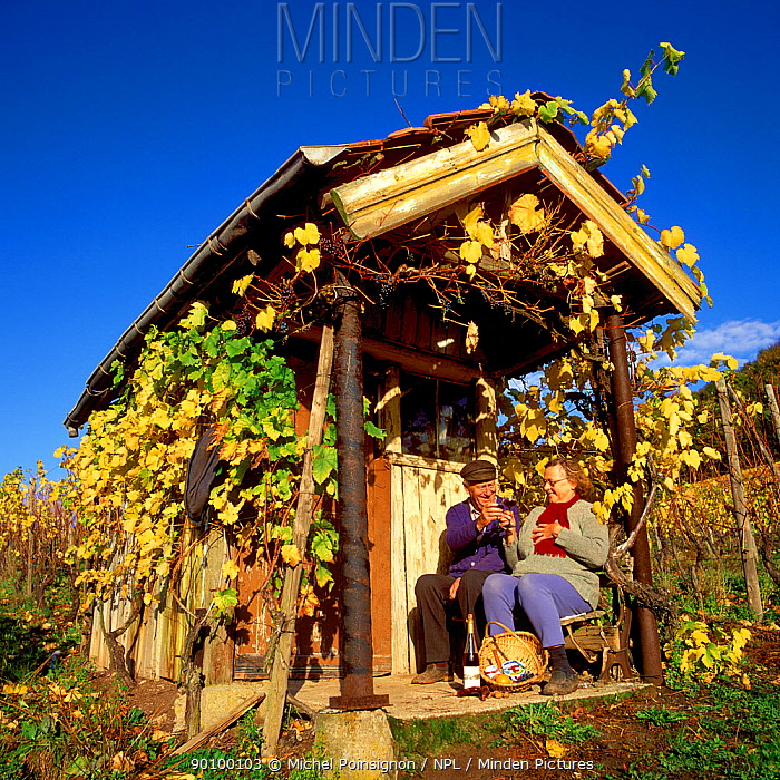 Couple celebrating the vintage at their vineyard, Moselle, Luxembourg  -  Michel Poinsignon/ npl