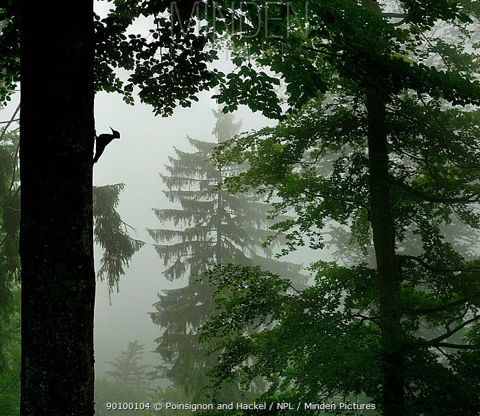 Silhouette of Black woodpecker (Dryocopus martius)at nest hole in tree trunk in mist, rain, ancient forest, Vosges mountains, Lorraine, France  -  Poinsignon And Hackel/ npl