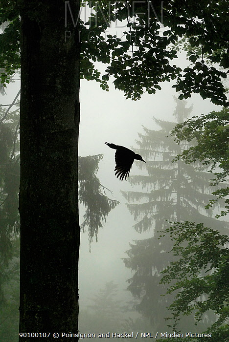 Sillhouette of Black woodpecker (Dryocopus martius) flying from nest hole in tree trunk in mist, rain, ancient forest, Vosges mountains, Lorraine, France  -  Poinsignon And Hackel/ npl