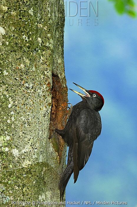 Black woodpecker (Dryocopus martius) male at nest hole, Vosges mountains, Lorraine, France  -  Poinsignon And Hackel/ npl