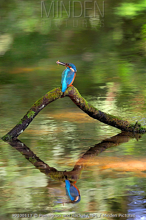 Common kingfisher (Alcedo atthis) perched over water with fish in beak, Lorraine, France  -  Poinsignon And Hackel/ npl