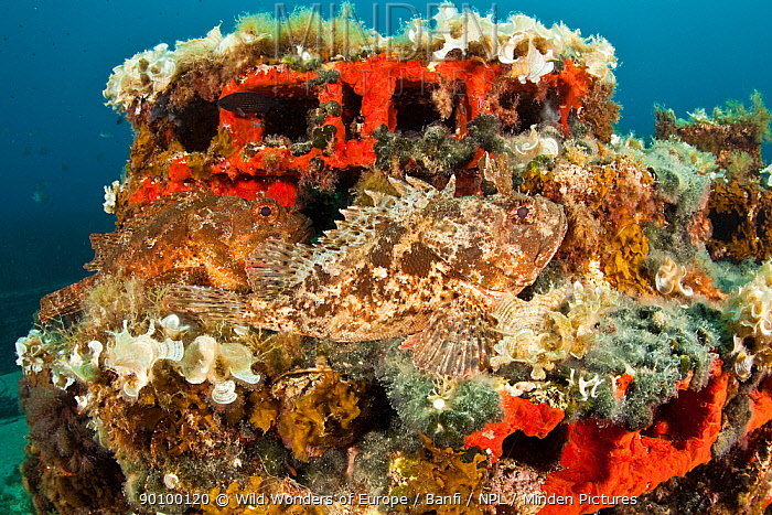 Two Scorpionfish (Scorpaena porcus) lying on artificial reef, Larvotto Marine Reserve, Monaco, Mediterranean Sea, July 2009 WWE OUTDOOR EXHIBITION NOT AVAILABLE FOR GREETING CARDS OR CALENDARS  -  WWE/ Banfi/ npl