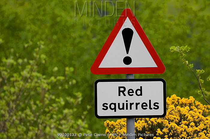Sign warning of Red squirrels crossing road, Scotland, UK, May 2008  -  Pete Cairns/ npl