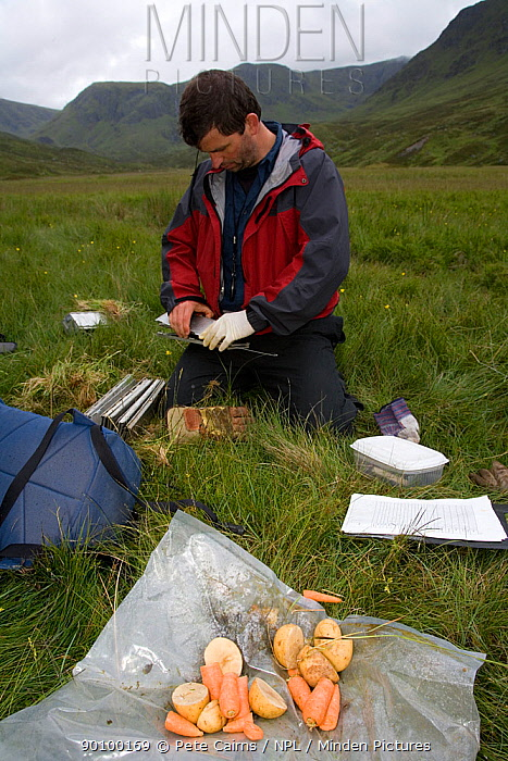 Carrots and potatoes used to bait Upland water vole (Arvicola terrestris) as part of conservation project, Cairngorms, Scotland, UK, July 2008, Model release  -  Pete Cairns/ npl