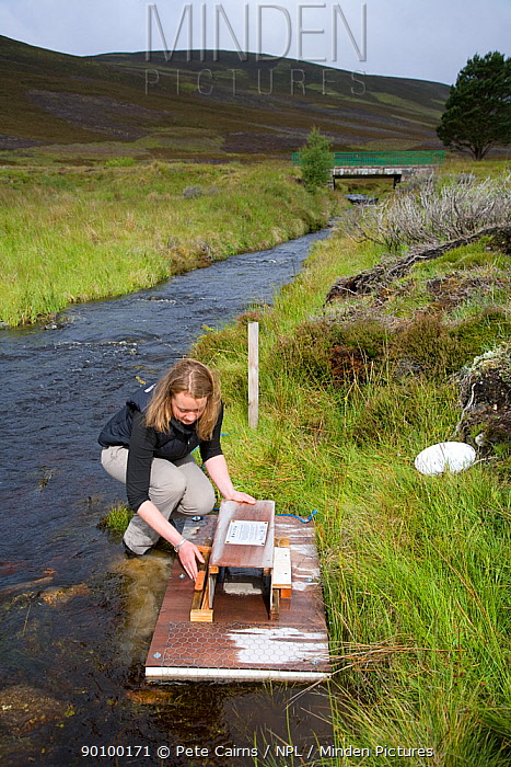 Dr Rosalind Bryce setting up a mink raft to trap American mink (Mustela vion) as part of Cairngorms water vole conservation project, Scotland, UK, August 2008  -  Pete Cairns/ npl