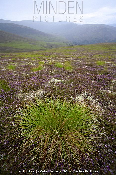Deer grass (Trichophorum cespitosum) on hillside, Glenfeshie, Cairngorms, Scotland, August 2008  -  Pete Cairns/ npl