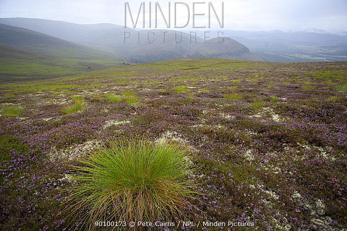 Deer grass (Trichophorum cespitosum) on hillside, Glenfeshie, Cairngorms, Scotland, UK, August 2008  -  Pete Cairns/ npl