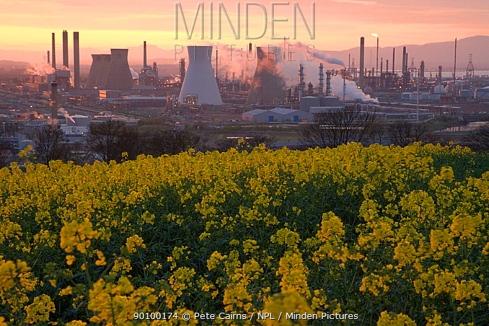 Grangemouth Oil Refinery with oil seed rape in the foreground, dusk, Grangemouth, Central Scotland, UK, May 2008  -  Pete Cairns/ npl