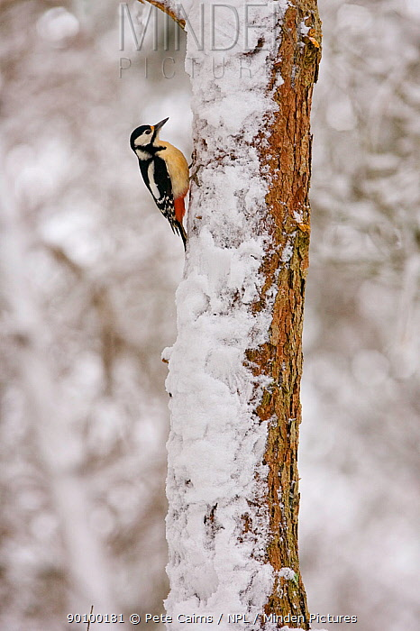 Great-spotted woodpecker (Dendrocopos major) in winter forest, Cairngorms, Scotland, UK  -  Pete Cairns/ npl