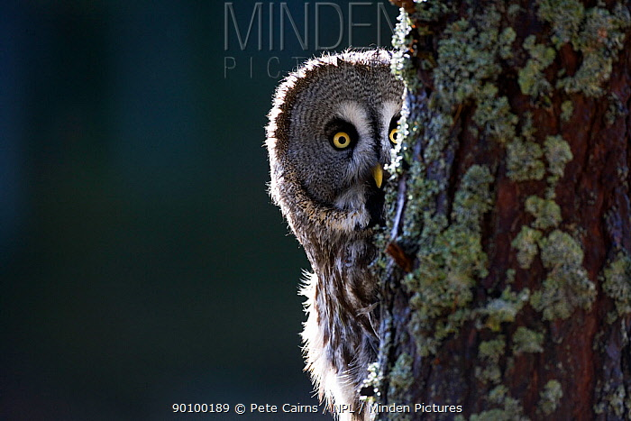 Great grey owl (Strix nebulosa) peering from behind tree trunk in pine forest, captive, Scotland, UK, February  -  Pete Cairns/ npl