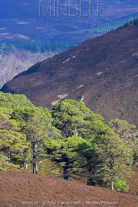 Alladale Wilderness Reserve, Highlands, Scotland, UK, March 2008  -  Pete Cairns/ npl
