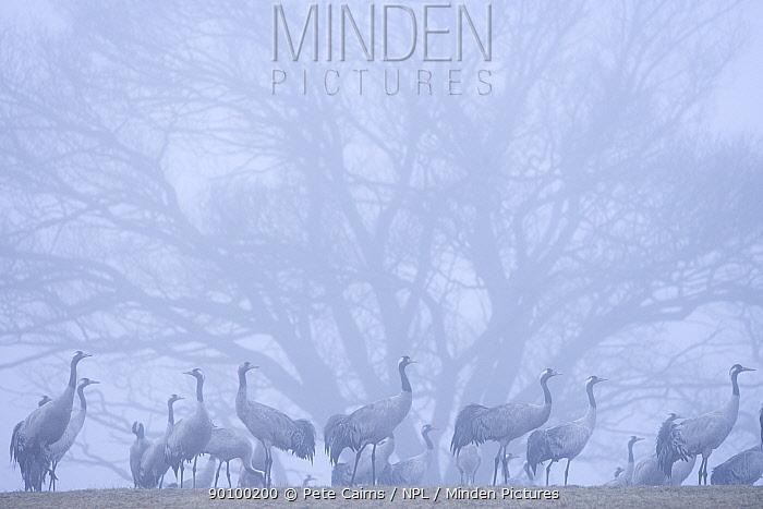 Flock of Common crane (Grus grus) in dawn mist on wintering grounds, Hornborga, Sweden, April  -  Pete Cairns/ npl