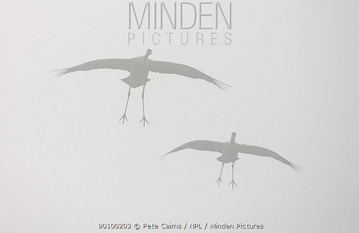 Silhouette of two Common cranes (Grus grus) in flight at dawn, Sweden, April  -  Pete Cairns/ npl