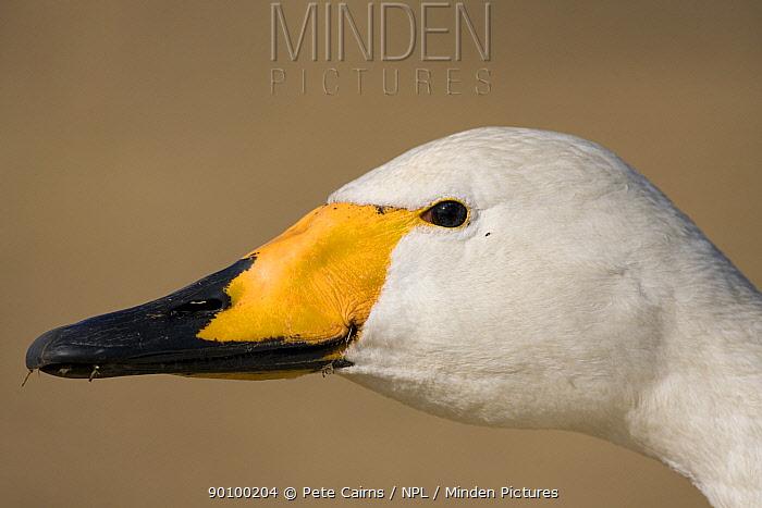 Whooper swan (Cygnus cygnus) head profile portrait, Hornborga, Sweden  -  Pete Cairns/ npl