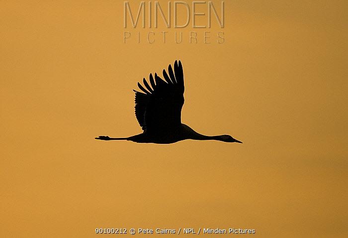 Common crane (Grus grus) silhouetted at sunset, Hornborga, Sweden  -  Pete Cairns/ npl