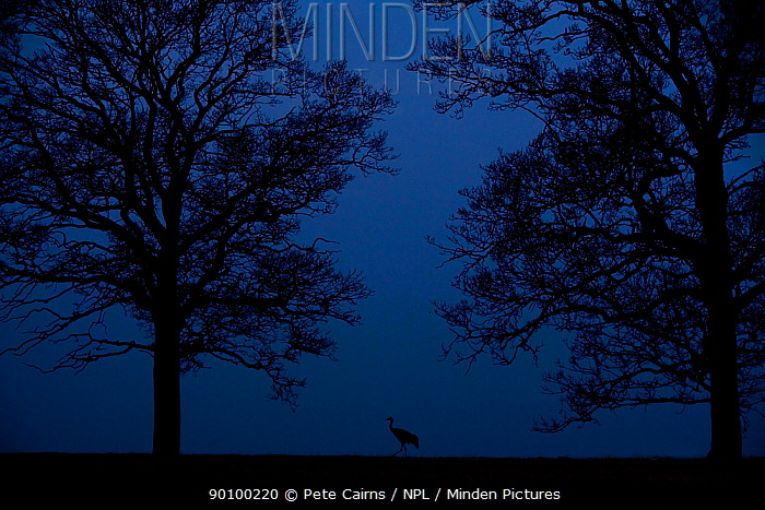Silhouette of single Eurasian Crane (Grus grus) at dusk, Hornborga, Sweden, April  -  Pete Cairns/ npl